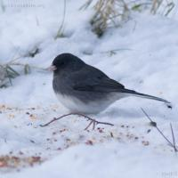 Slate-colored Dark-eyed Junco (<em>Junco hyemalis</em>)