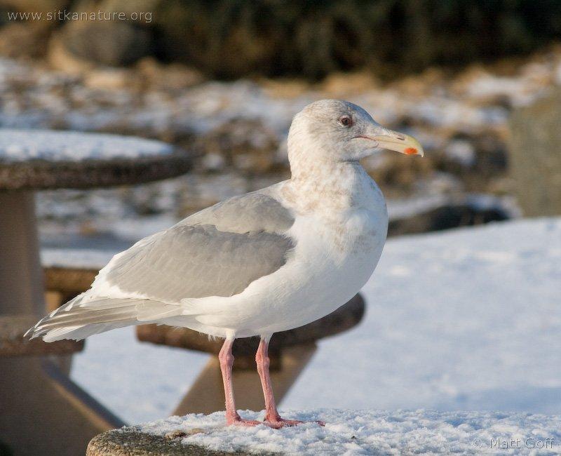 Glaucous-winged Gull (Larus glaucuscens)