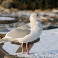 Glaucous-winged Gull (Larus glaucuscens)