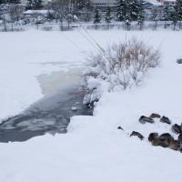 Swan Lake Birds