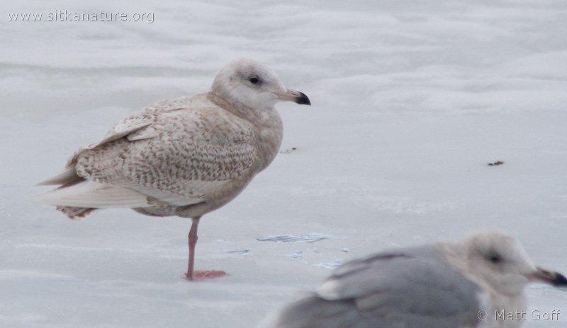 Juvenile Glaucous Gull (Larus hyperboreus)