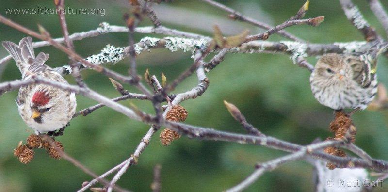 Common Redpoll and Pine Siskin on Red Alder