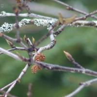 Common Redpoll and Pine Siskin on Red Alder