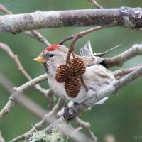 Common Redpoll on Red Alder