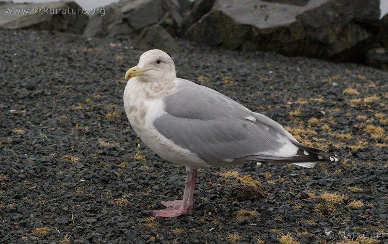 Unidentified Gull (Larus sp)