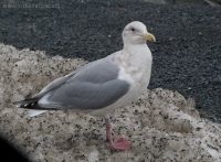 Unidentified Gull (Larus sp)