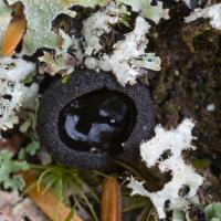 Black Reflecting Cup (Plectania sp)