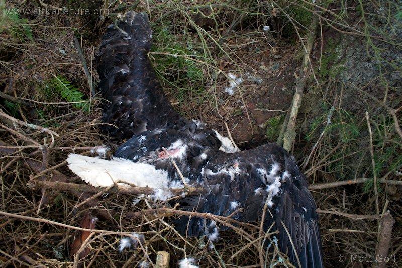 Dead Bald Eagle