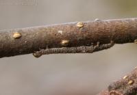Winter Caterpillar