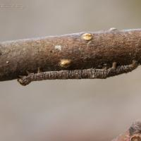 Winter Caterpillar