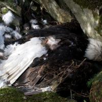 Dead Bald Eagle (Haliaeetus leucocephalus)