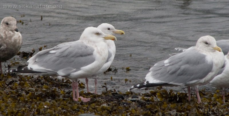 Herring and Thayer's Gulls