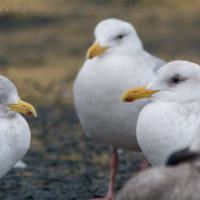 Glaucous-winged Gulls (Larus glaucescens)