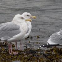 Herring and Thayer's Gulls