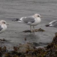 Mew Gulls (Larus canus)