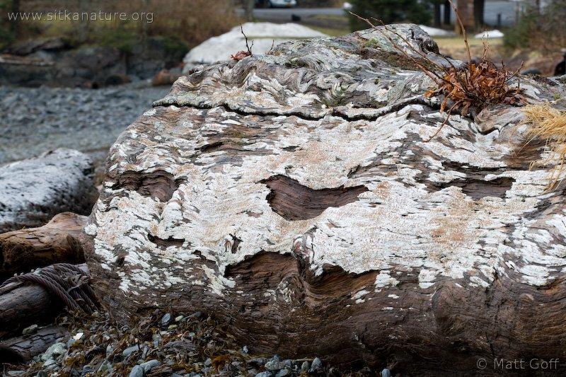 Driftwood Rim-lichen (Lecanora xylophila)