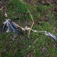 Bald Eagle Remains (Haliaeetus leucocephalus)
