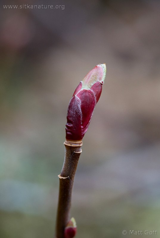 Trailing Currant Bud (Ribes laxiflorum)