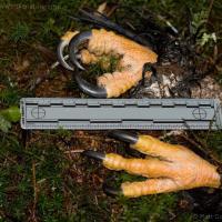 Bald Eagle Talons (Haliaeetus leucocephalus)