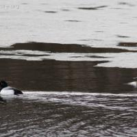 Ring-necked Duck and Lesser Scaup