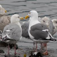 Western Gull with Thayer's Gull