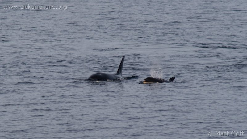Killer Whales (Orcinus orca) in Sitka Sound