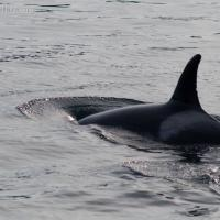 Killer Whale (Orcinus orca) in Sitka Sound