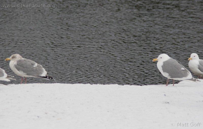 Gulls (Larus spp)