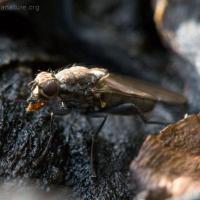 Kelp Fly