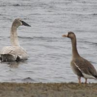 Trumpeter Swan and Greater White-fronted Goose