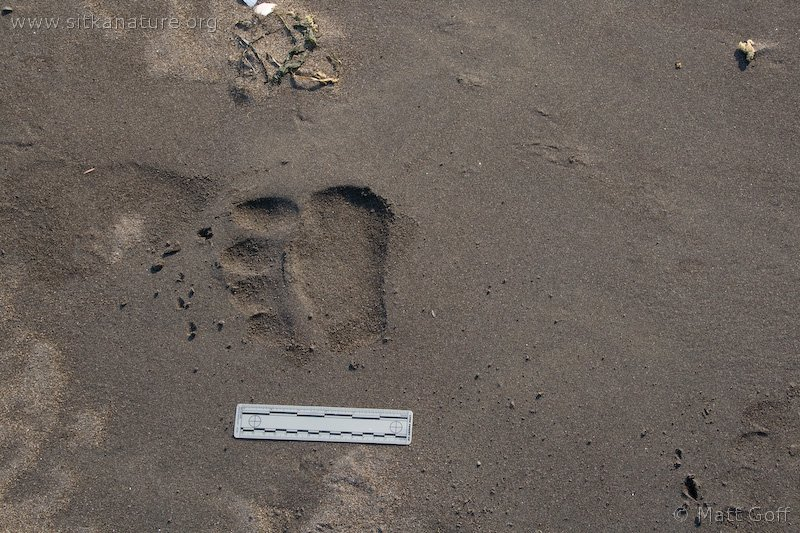 Brown Bear Tracks