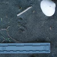 Deer Mouse (Peromyscus keeni) Tracks
