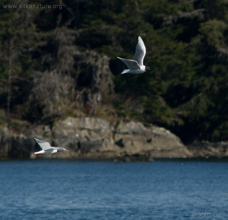 Bonaparte's Gulls (Larus philadelphia)