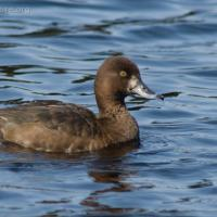 Female Lesser Scaup (Aythya affinis)