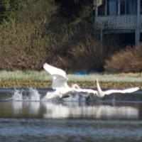 Trumpeter Swan Aggression