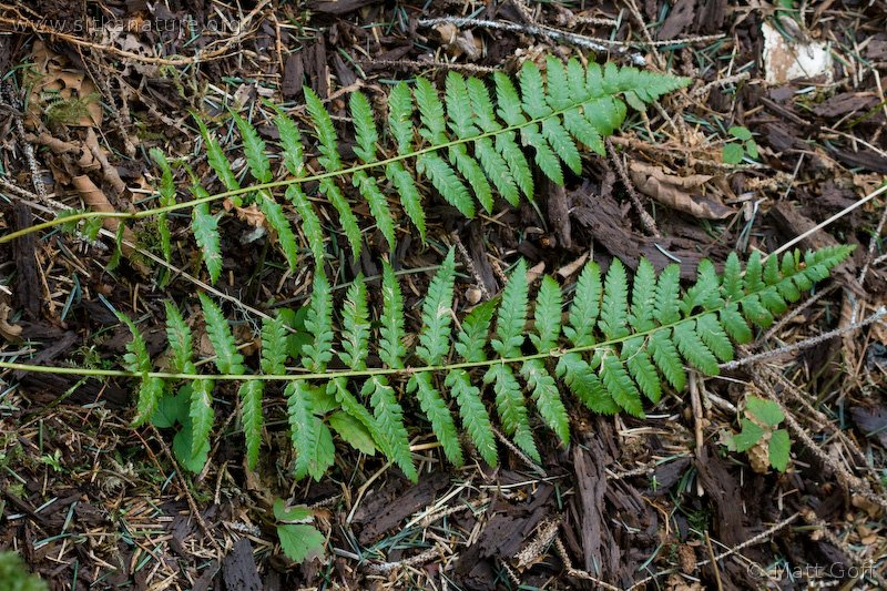 Anderson's Holly Fern (Polystichum andersonii)