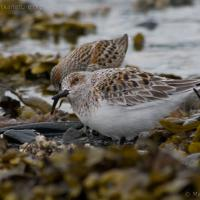 Sanderling and Western Sandpiper