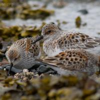 Sanderling and Western Sandpiper