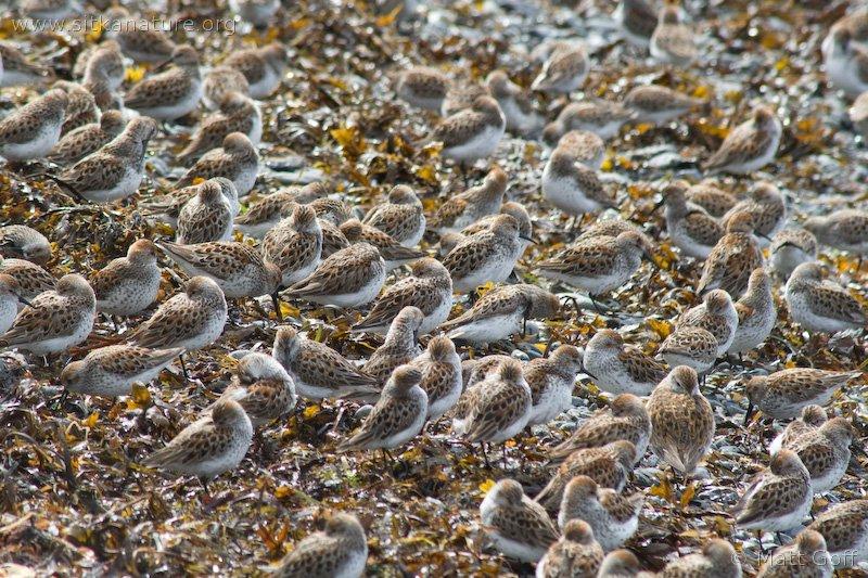 Western Sandpipers (Calidris mauri)