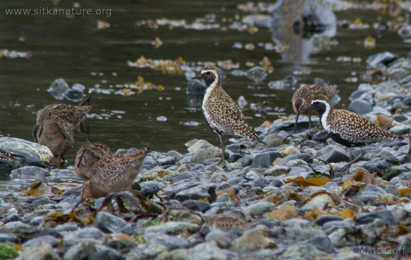 Pacific Golden Plovers and Short-billed Dowitchers