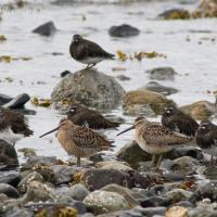 Short-billed Dowitchers and Black Turnstones