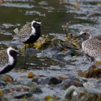 Black-bellied and Pacific Golden Plovers