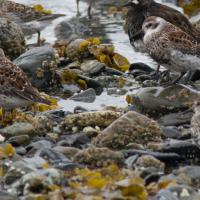 Rock Sandpipers (Calidris ptilocnemis)