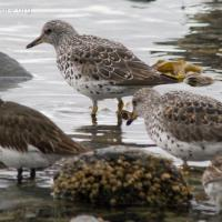 Surfbirds and Black Turnstone