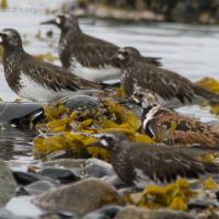 Ruddy and Black Turnstones