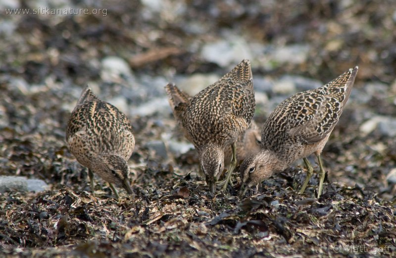 Short-billed Dowitchers (Limnodromus griseus)
