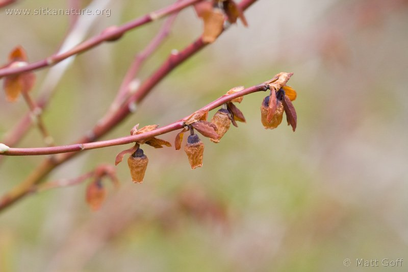 Early Blueberry (Vaccinium ovalifolium)