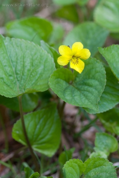 Stream Violet (Viola glabella)