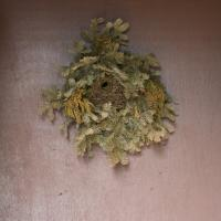 Winter Wren Nest