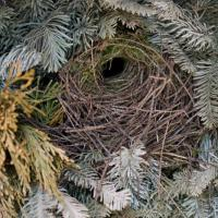 Winter Wren Nest
